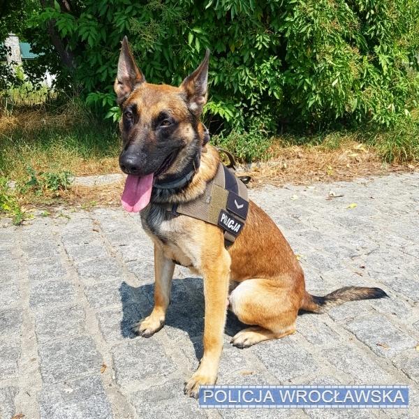 Policyjny pies Loar pomógł odszukać starszą kobietę