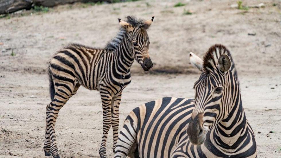 Beza zBorówką zwrocławskiego zoo – białe pasy na czarnym